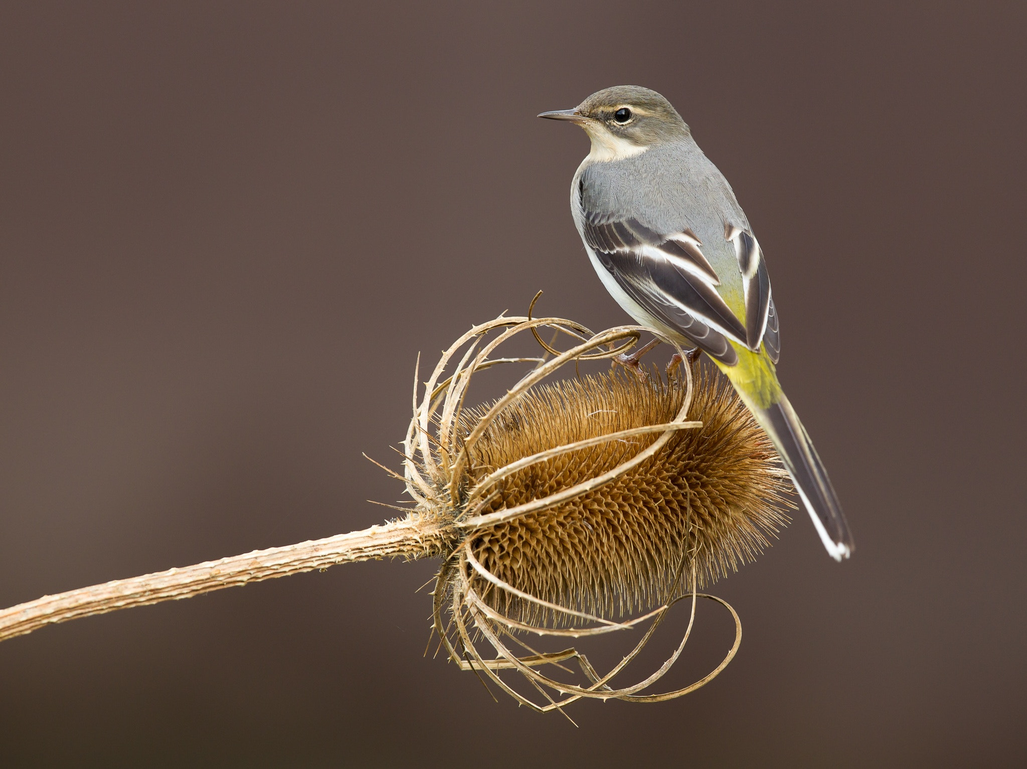 Photograph Grey Wagtail by Keith Humphrey on 500px