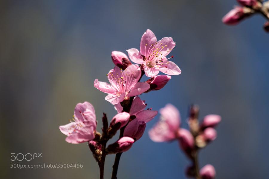 Peach Blossom by Scott Finley (scottfinleynh)) on 500px.com
