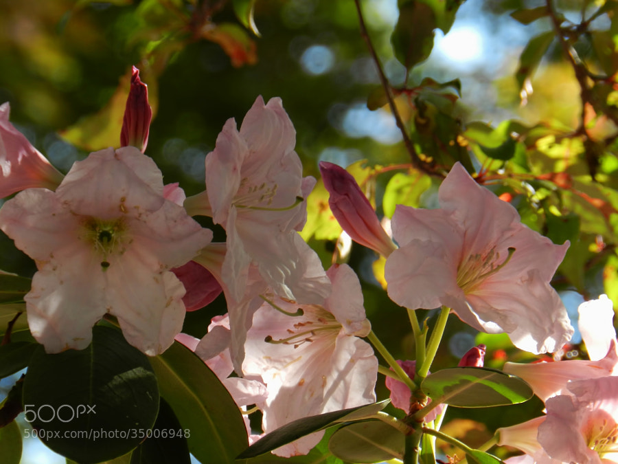 Morning Rhododendron by Scott Finley (scottfinleynh)) on 500px.com