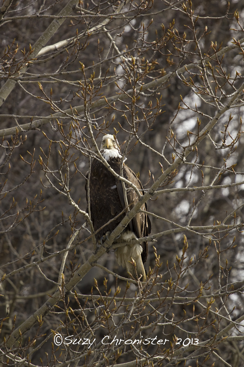 Photograph Eagle by Suzy Chronister on 500px