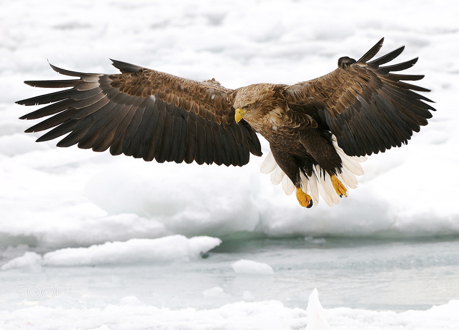 White-tailed Eagle, with fully spread wings and tail feathers used as brakes, few seconds before landing on the floating ice at the Sea of Okhotsk, North-East of Rausu on Hokkaido, Japan.