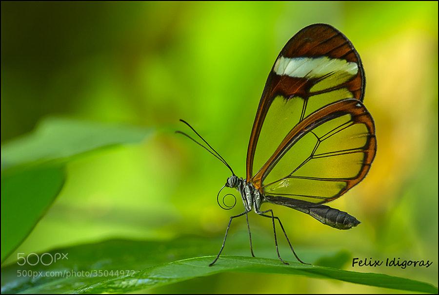 Photograph Mariposa transparente by Felix Idigoras on 500px