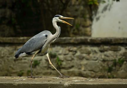 Catwalking Heron