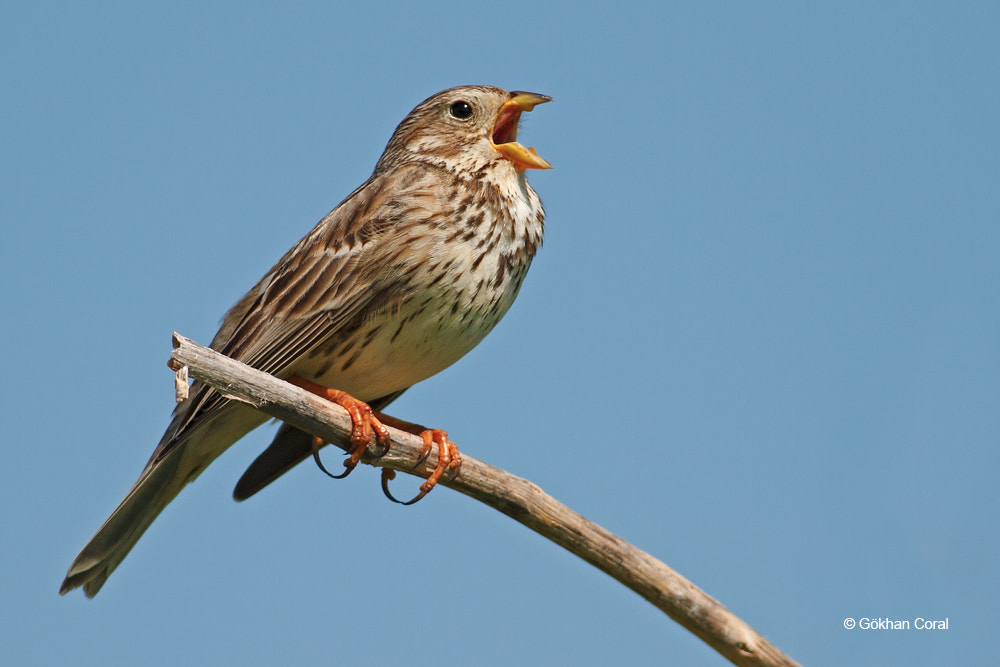 Photograph Corn bunting by Gökhan CORAL on 500px