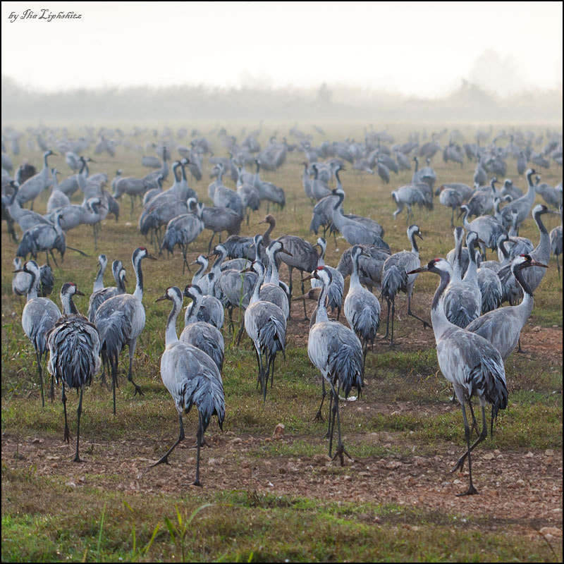 Common Cranes without mist №2