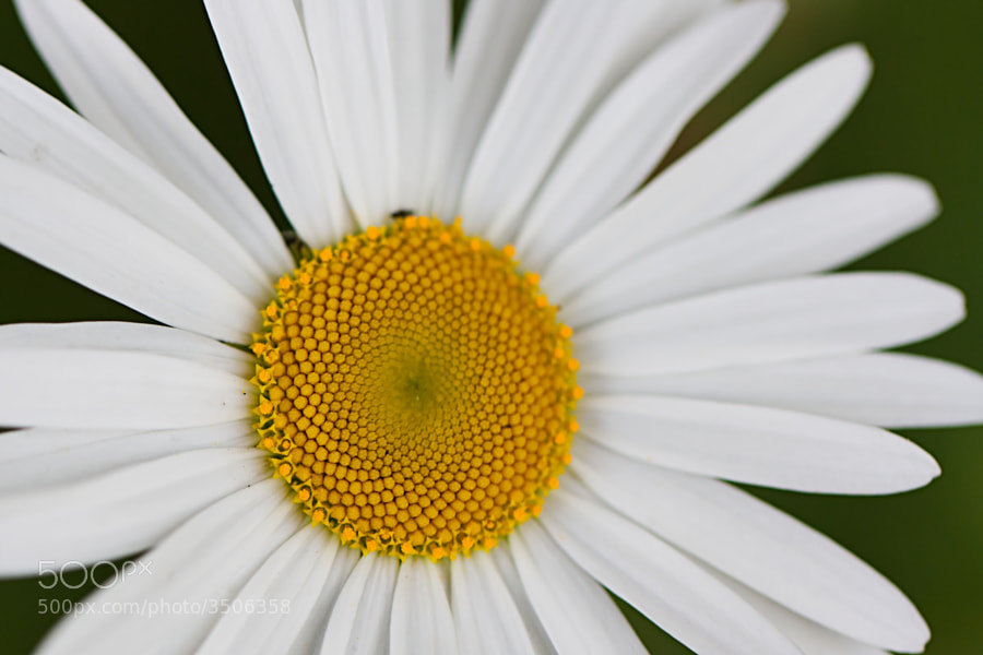 Photograph Daisy Daisy by Richard van Wayenburg on 500px