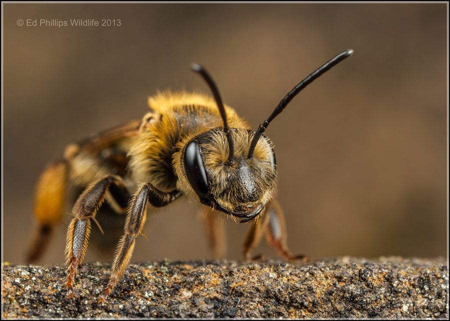 Andrena bucephala (f) by Ed Phillips on 500px.com
