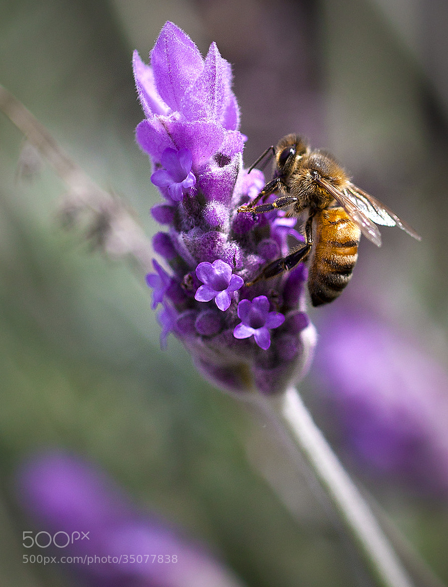 Photograph Honey Bee by Tony  Law on 500px