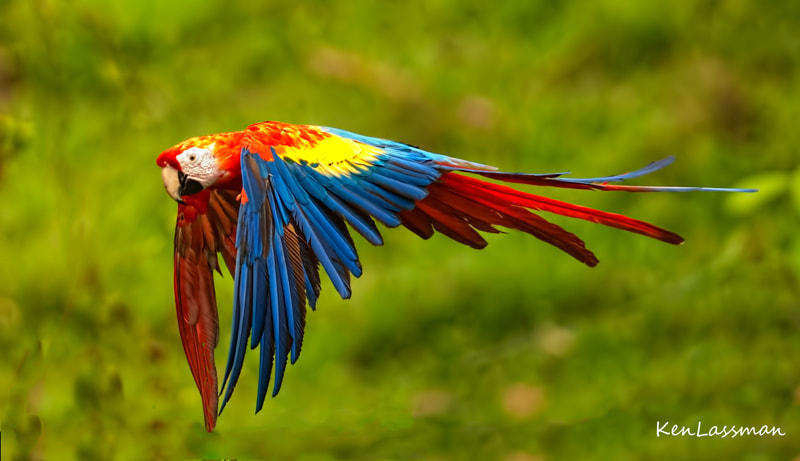 Just a thrill to see them flying free in their native habitat in Costa Rica...such a beautiful bird...and loud