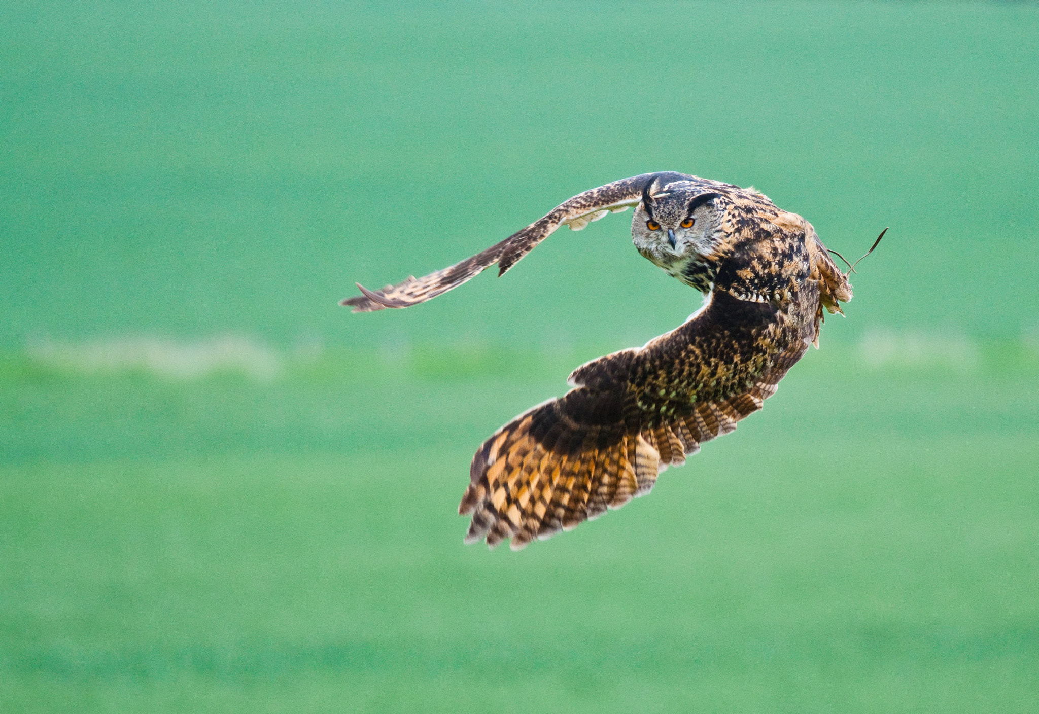 Photograph Eagle owl take off by Luke Millward on 500px