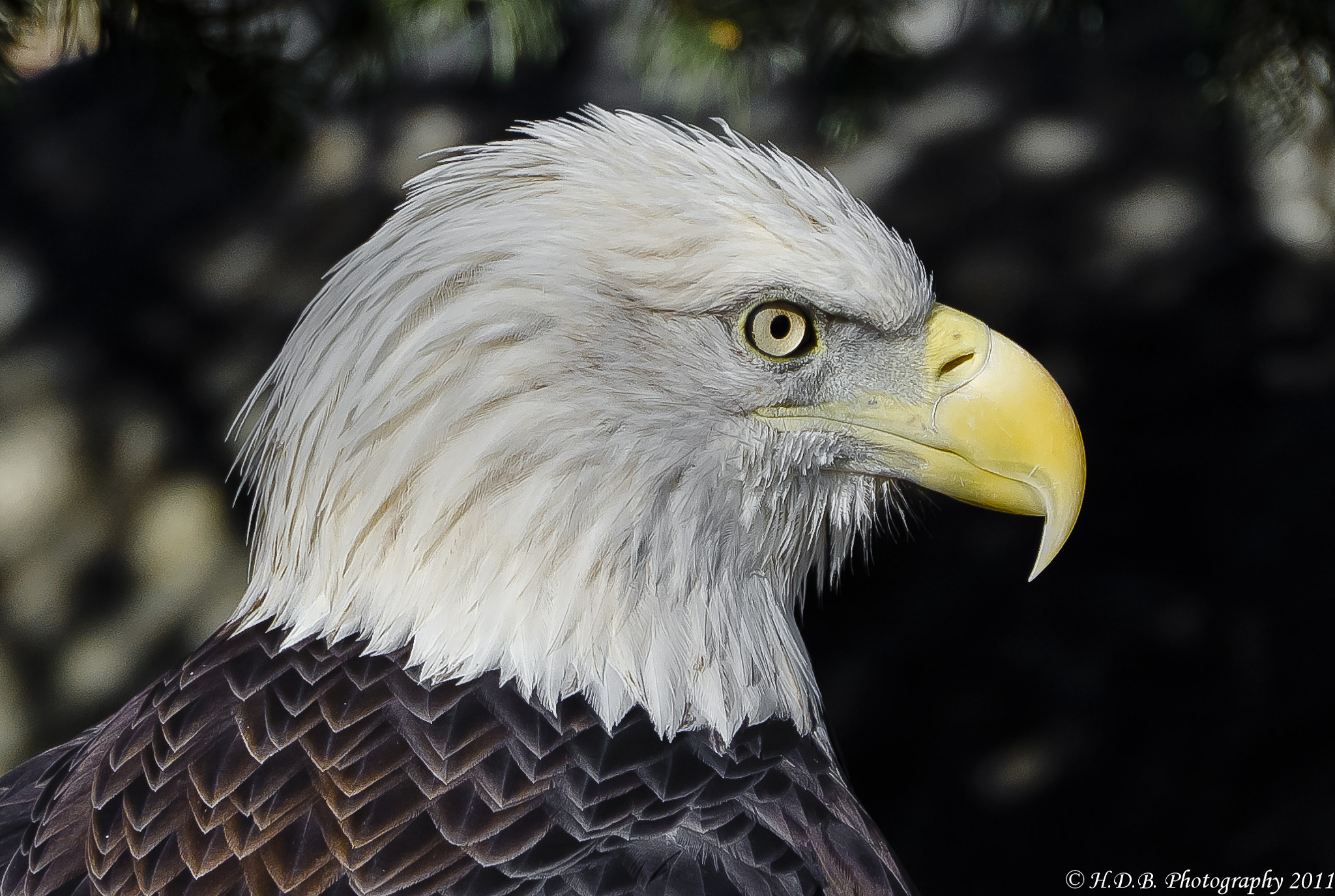 Photograph Bald Eagle by Harold Begun on 500px