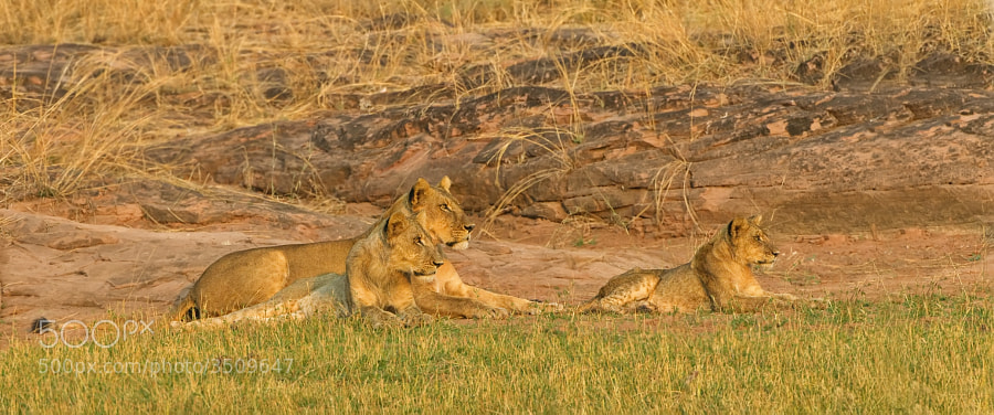 Part of a small Pride, resting after a walk around the shoreline of Lake Kariba