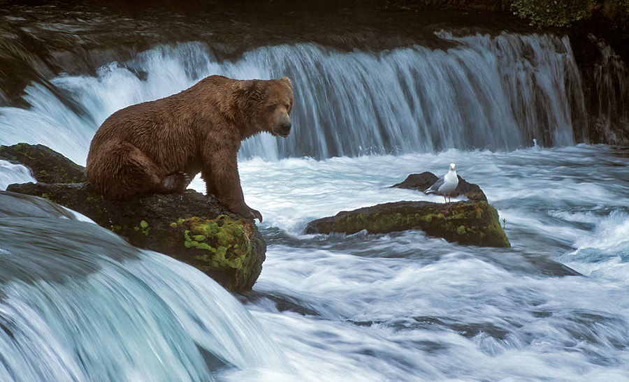 One out of the old analog days again this time.  The rocks the Brown Bear and Seagull are on are situated in Brooks River. In the background you see the famous Brooks Falls were the bears normally are waiting for the Salmon to jump in to there big mouth :-)  Because these two were sitting relatively still, I wanted to try a longer exposure to let the water run. This was taken with 1/45th of  a second.  Handheld shot taken back in July 2003 at Brooks River, Katmai National Park in Alaska. Did use Fuji Provia 100F slide film for this shot, and did scan the slide with my Nikon Super Coolscan 4000ED.  Best regards and have a nice weekend,   Harry