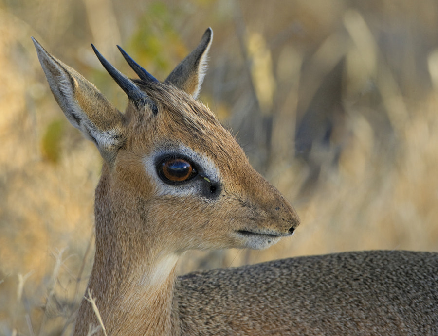 Africa's smallest and cutest antelope poses nicely on Dikdik drive, Etosha, Namibia