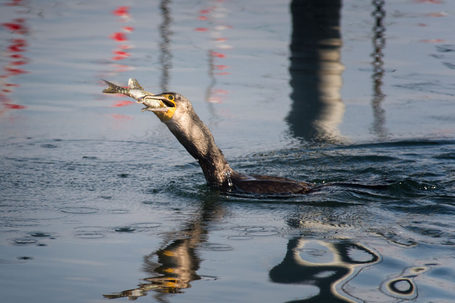 Kormoran mit Fisch | Cormorant with fish
