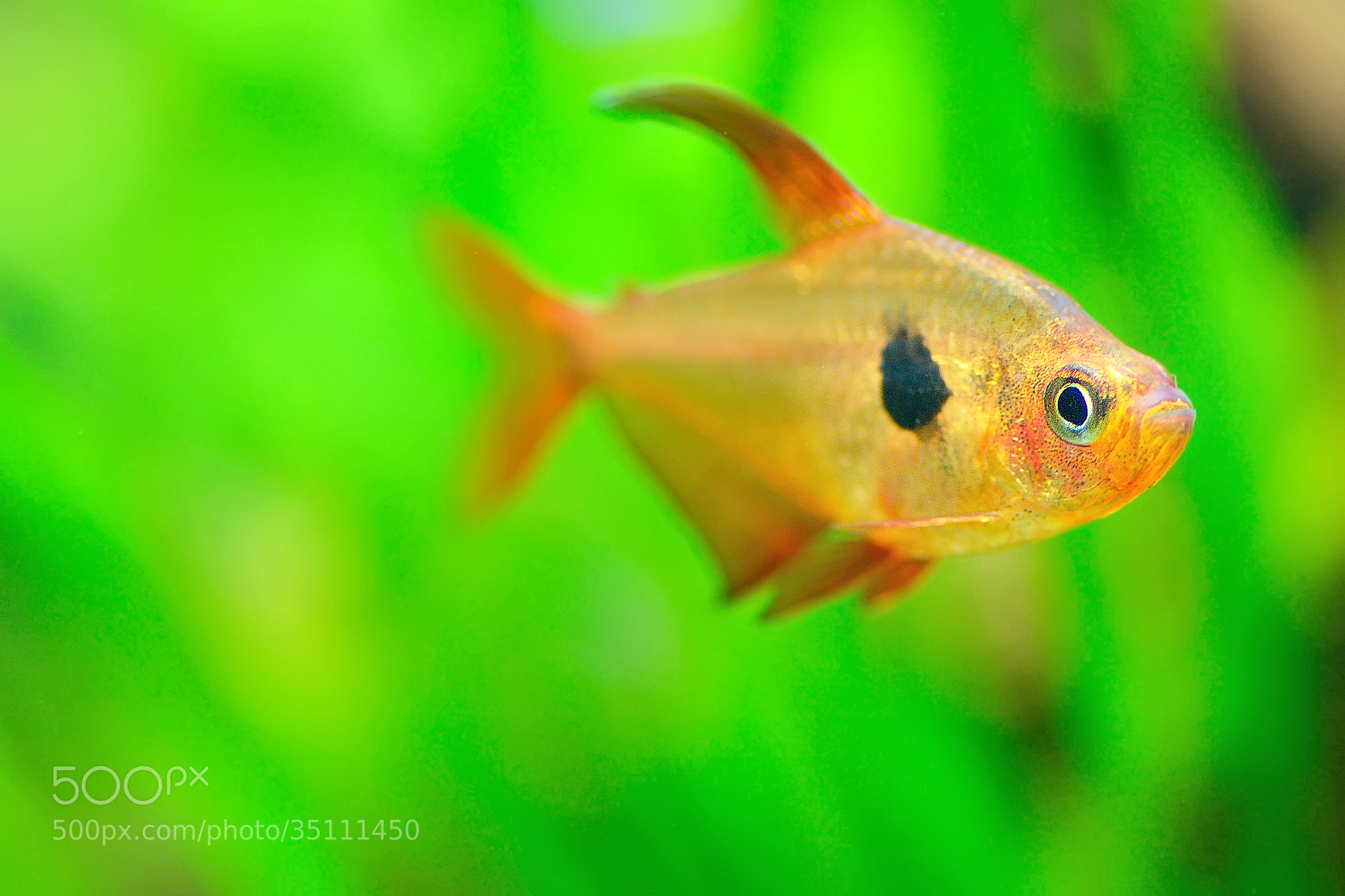 Photograph Red Phantom Tetra by Anake Seenadee on 500px