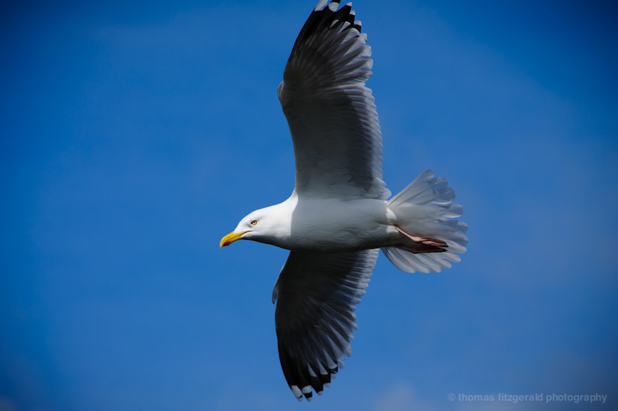 Photograph Soring Seagull by Thomas Fitzgerald on 500px