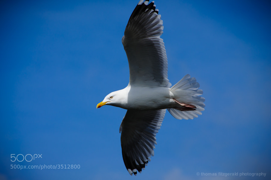 A Seagull flies high in the blue sky