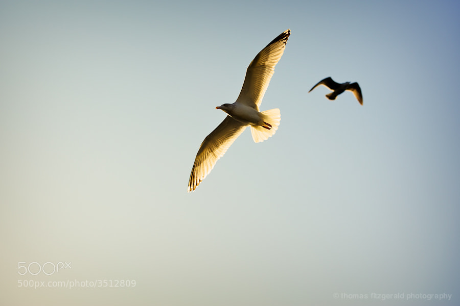 Seagulls soaring in the light of the low winter sun