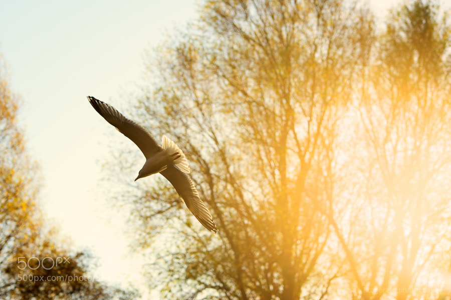 A seagull flies against a backdrop of the warm glow of the sun