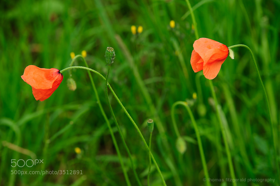Two red poppies against a bright green backdrop of grass
