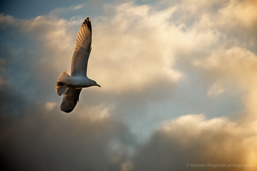 Photograph Seagull Flying High by Thomas Fitzgerald on 500px