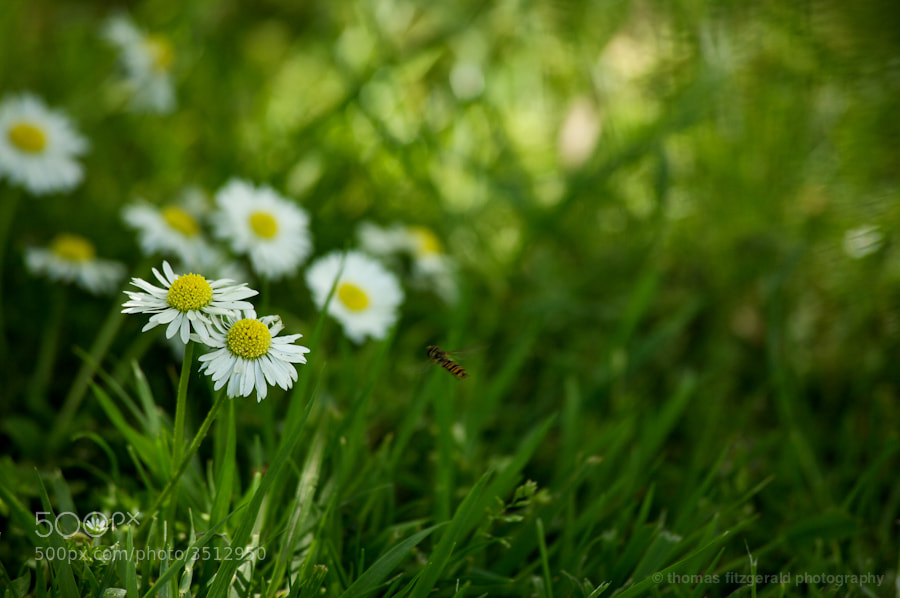 Insect hovers in front of a group of daises