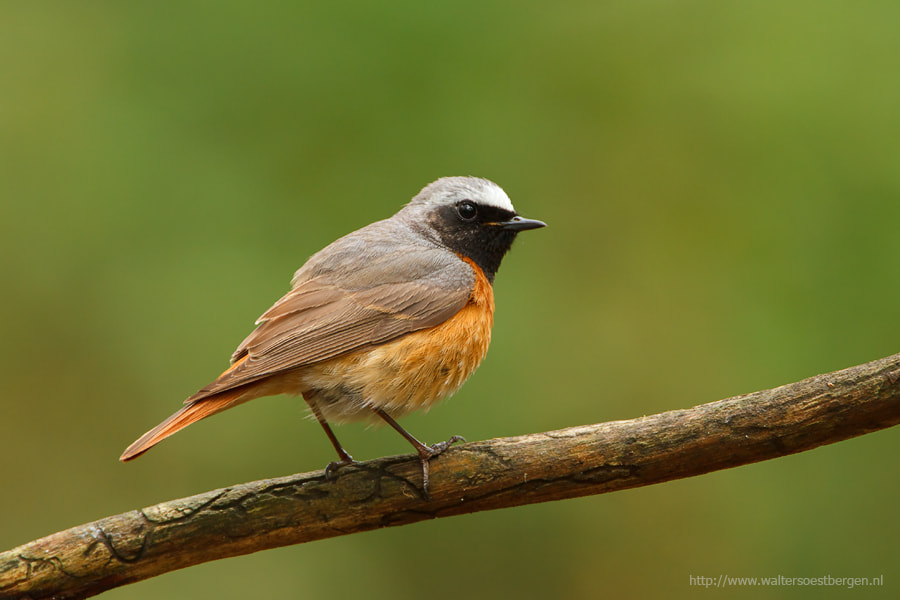 Photograph Common redstart by Walter Soestbergen on 500px