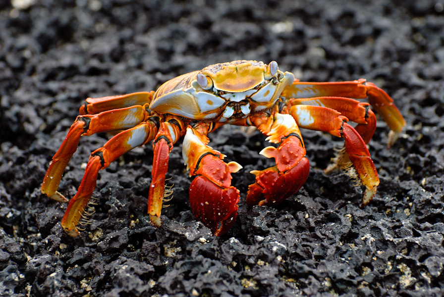 Photograph Lava crab by Antoine Reveau on 500px