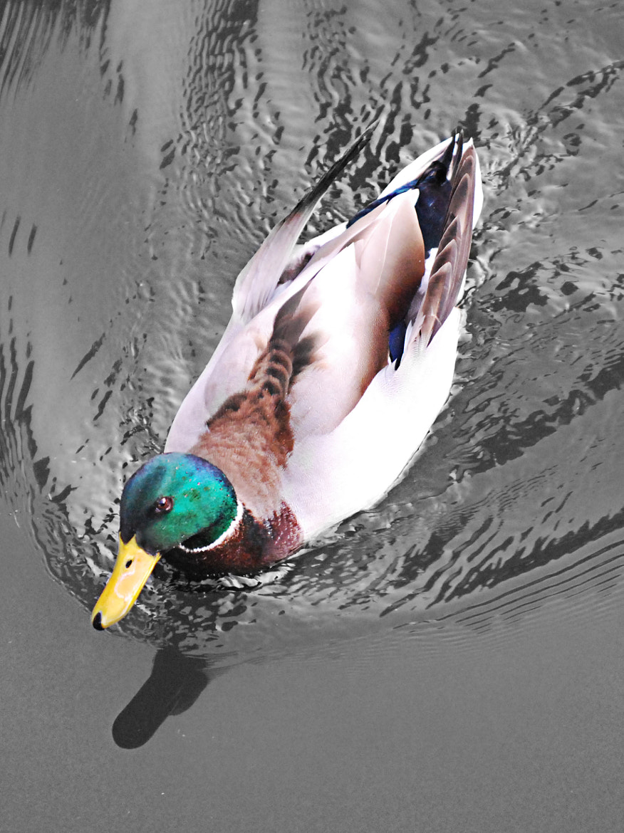Photograph Duck by Josh Downie on 500px