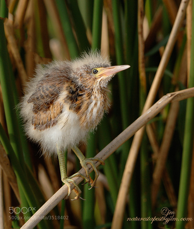This was taken in the wetlands of Delray Beach and when the baby bitterns were just venturing out in to the world.  They are such wonderful little babies to watcth and we were thrilled to capture them out in the open.