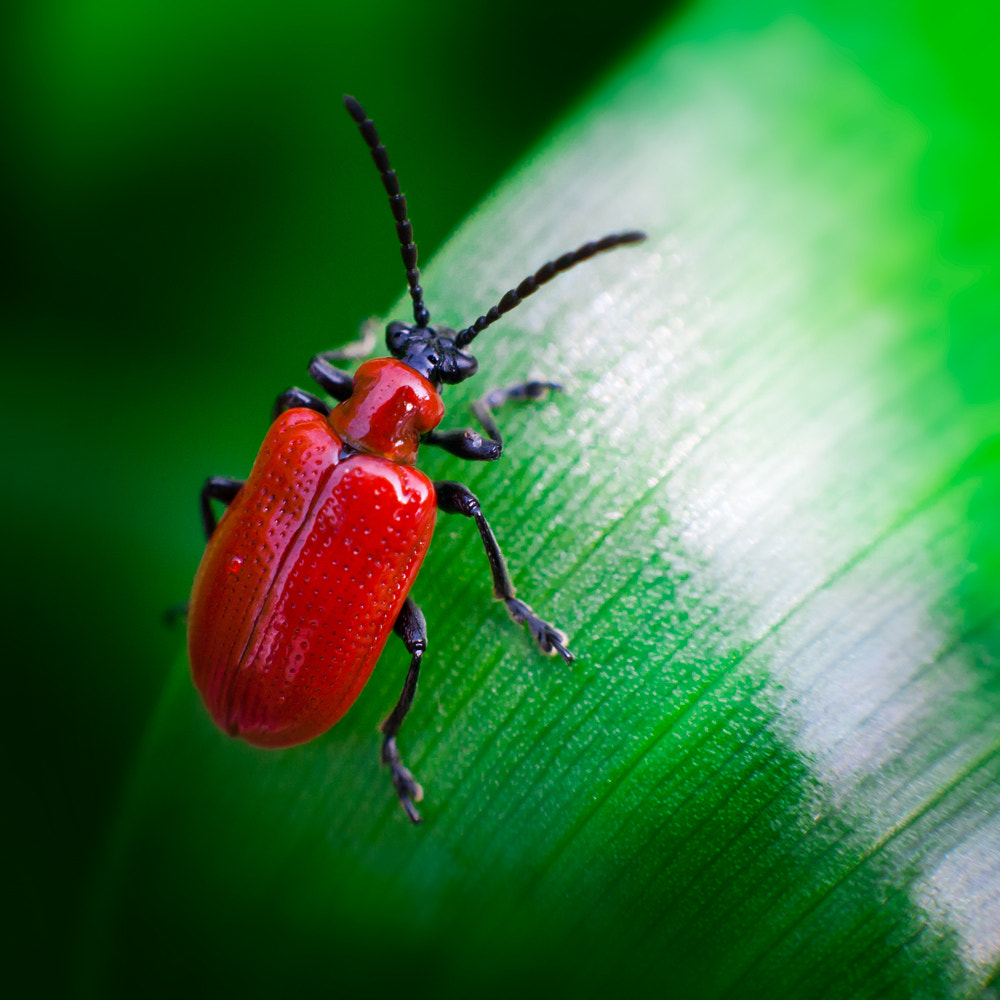 Photograph The scarlet lily beetle by Tomasz Grabowiecki on 500px