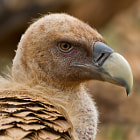 Griffon Vulture, Catalan Pyrenees, Spain