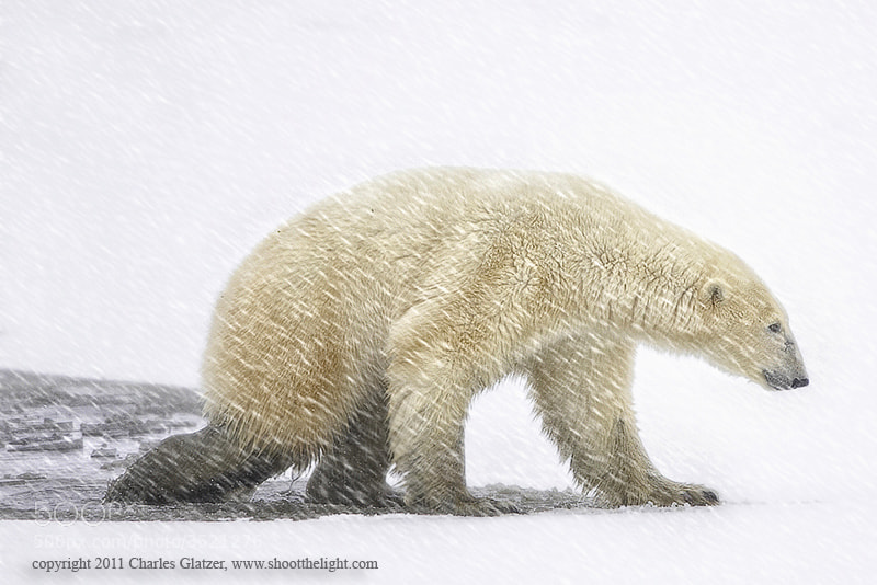 Photograph Polar bear stepping out by Charles Glatzer on 500px
