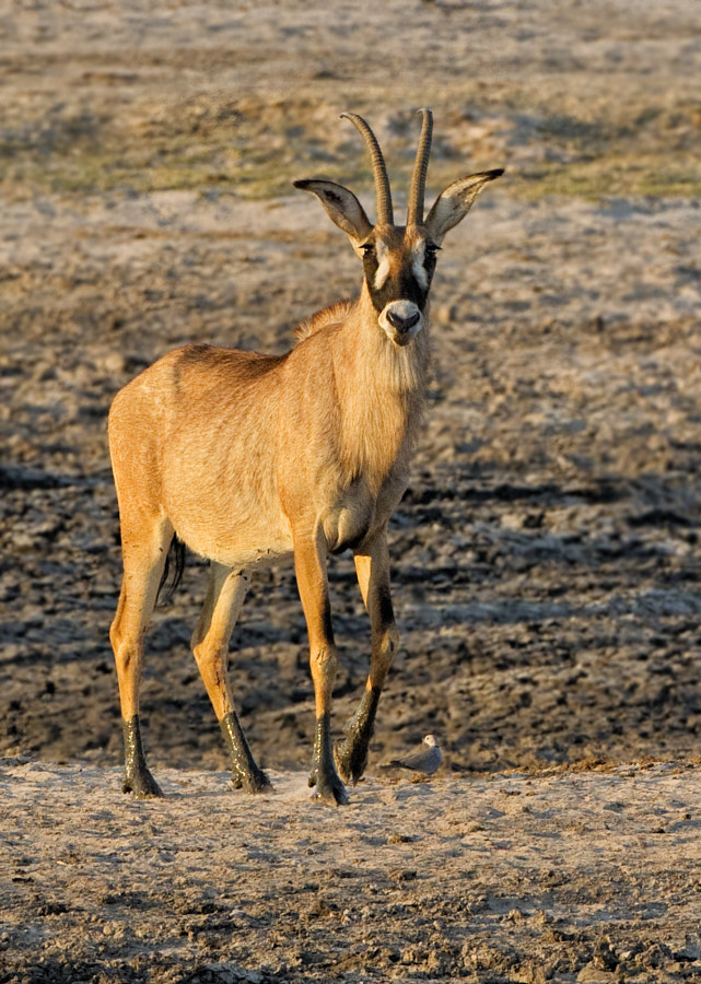 One of Africa's most stately antelope the Roan is a peculiar beast and generally very timid, this was taken in Ngweshla, Hwange National Park, Zimbabwe