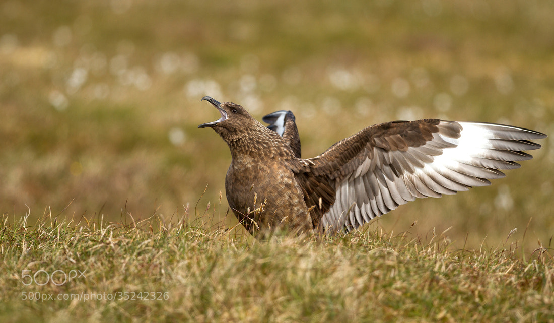Photograph Bonxie by Dalia Kvedaraite on 500px
