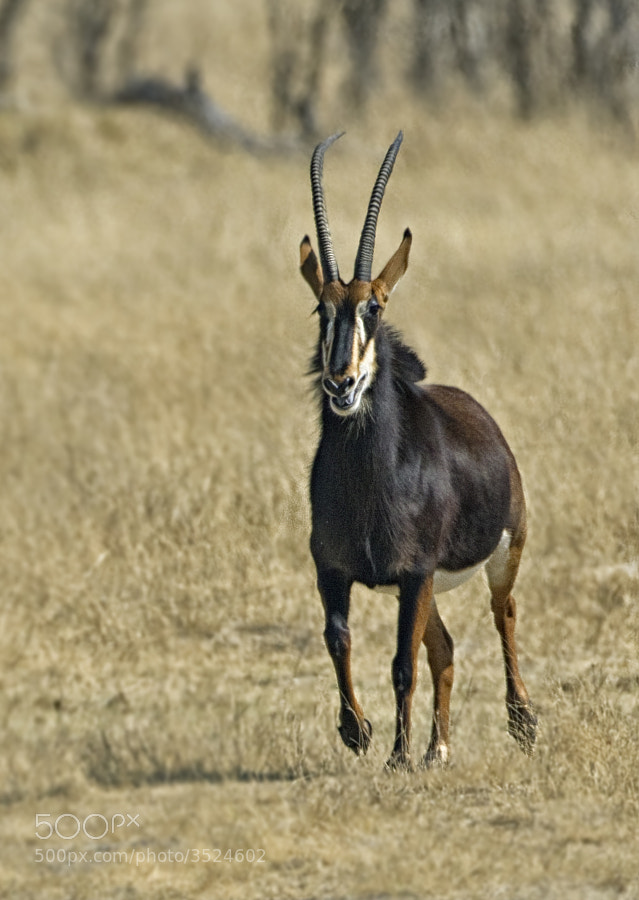 Another and possibly the most magnificent Antelope of Africa, this Sable was enjoying play in Hwange National Park, Zimbabwe