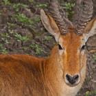 Puku, Pucú, Mfuwe Lodge, South Luangwa National Park, Zambia
