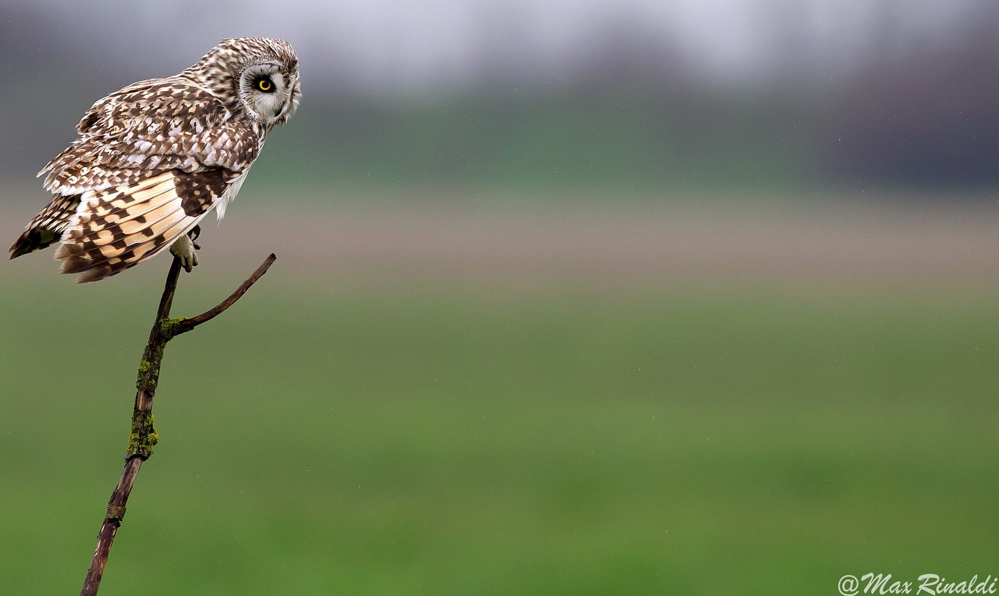Photograph Short Eared Owl by Max Rinaldi on 500px