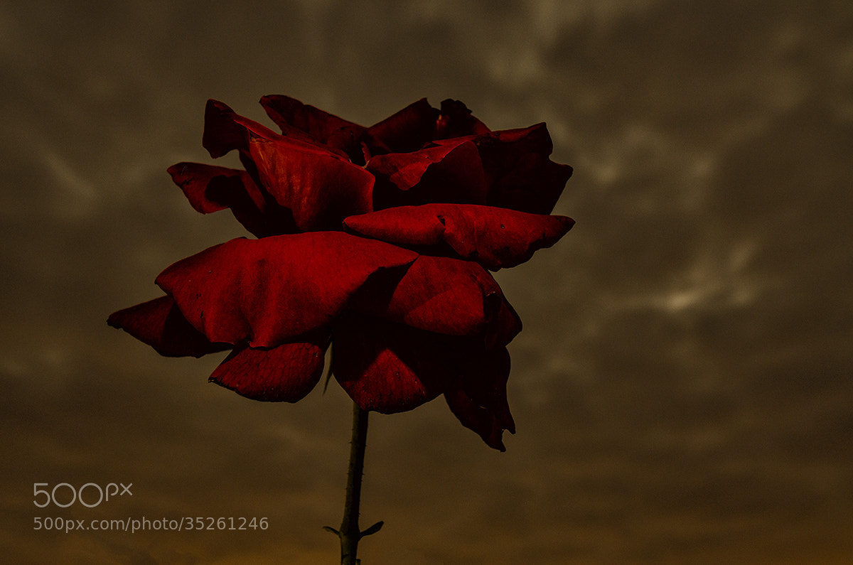 Photograph flower in the nigth by Albert Galì on 500px