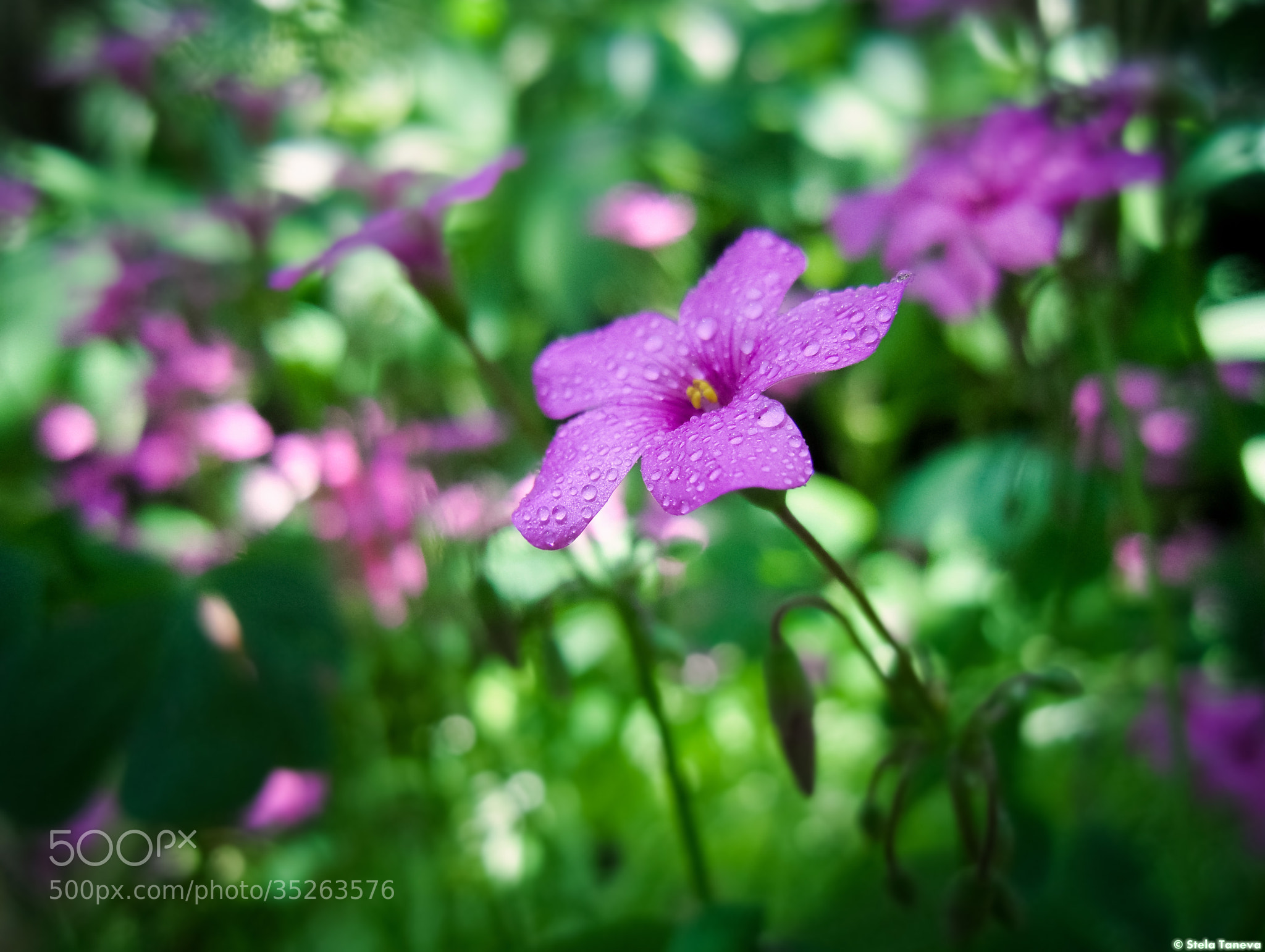Photograph Pink flower by Stela Taneva on 500px