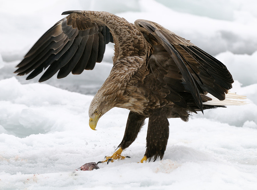 Looking at the face and body language, snow even is splashing due to the force the talon is stamped, of this White-tailed that is what it must have thought looking at the leftover on the snow. On the floating ice at the Sea of Okhotsk, North-East of Rausu on Hokkaido, Japan.  Please view large by clicking on the image.  Thanks in advance.  Best regards and have a nice weekend,  Harry