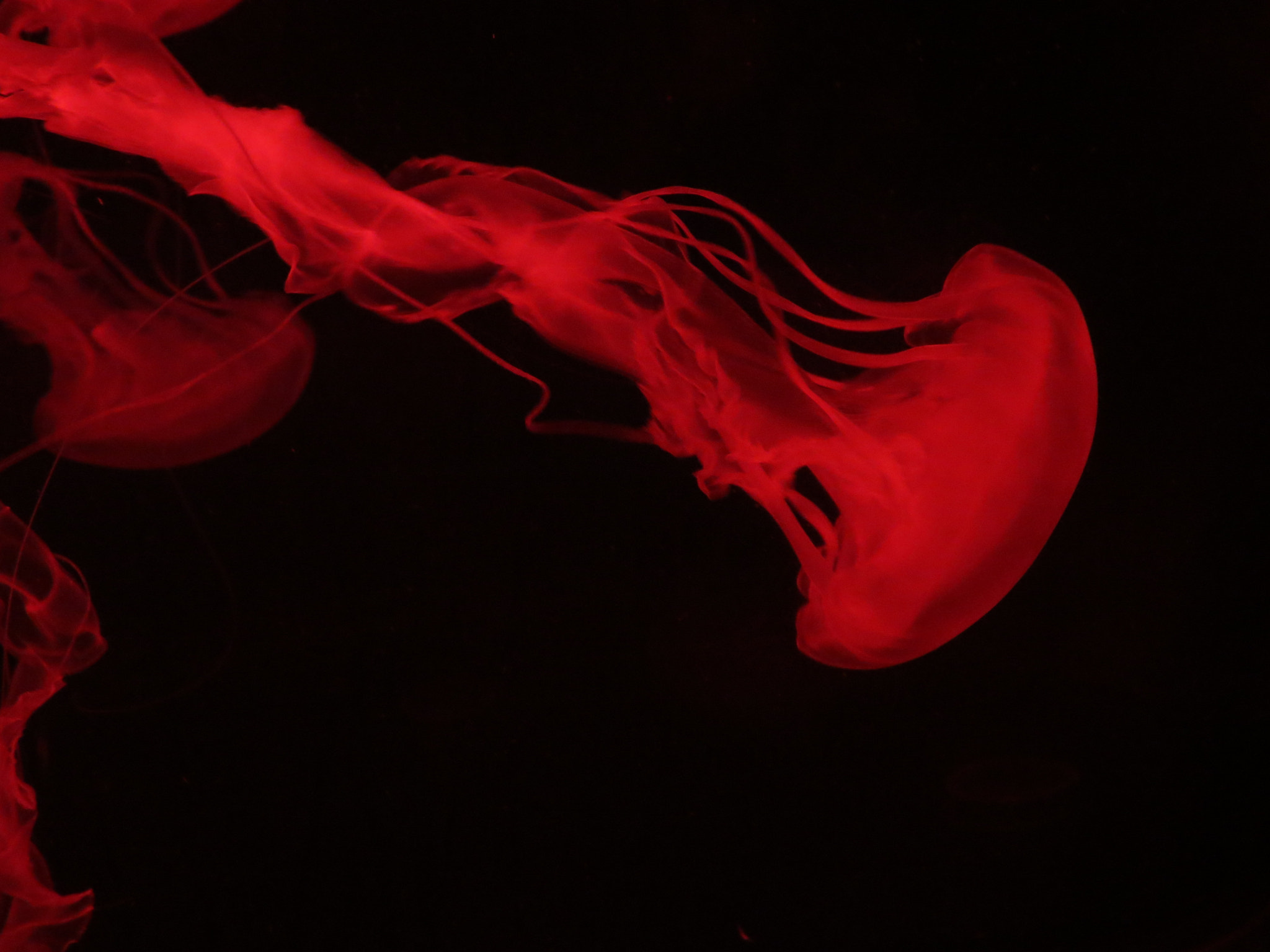 Photograph Jellyfish in red by itzik kleiman on 500px