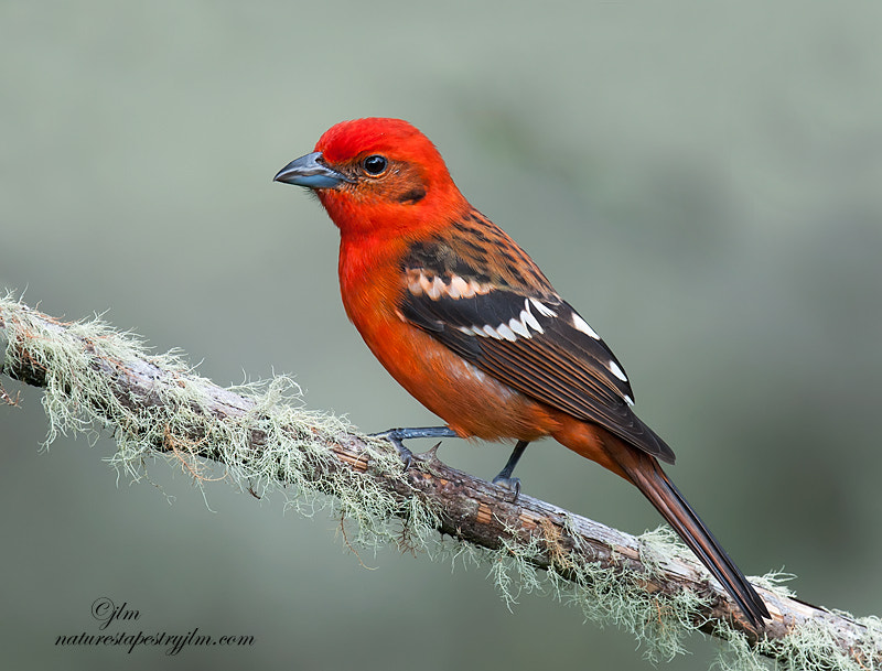 Thisn is an image of a flame colored tanager photographed on our recent trip to Costa Rica.  Their flaming beauty can be seen darting amongst the trees and the color is quite unique,  I it is not a red but more an orange red .  Different from anything I had seen before.  The female is more on the yelllow coloring so they are very easy to identify.