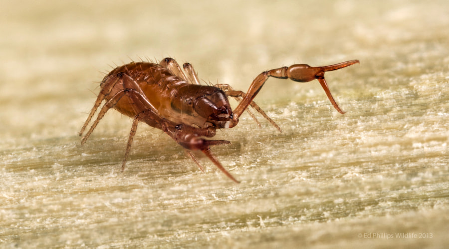 Pseudoscorpion (False Scorpion) by Ed Phillips on 500px.com