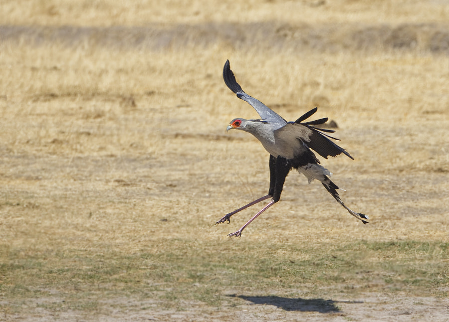 A Secretary Bird nears tiych down at Ngweshla Waterhole stopping by for a drink. Hwange National Park, Zimbabwe
