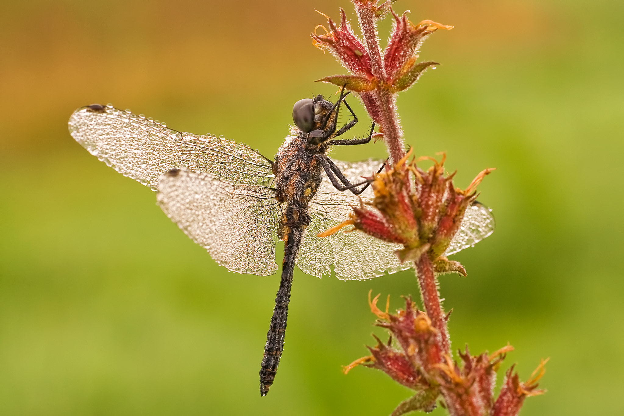 Photograph Dragon Fly by Dirk Seifert on 500px