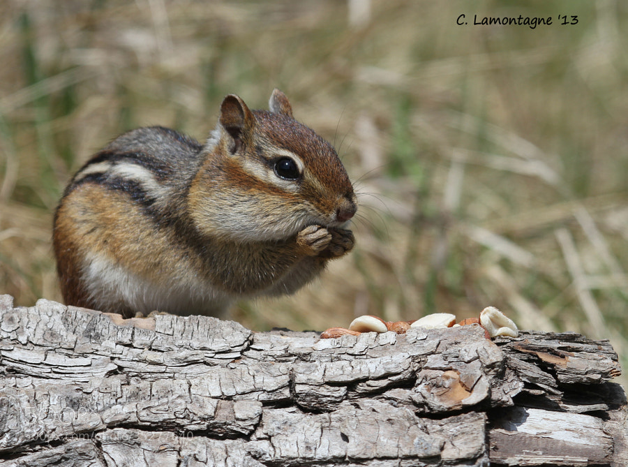 This chipmunk is very friendly and will come and sit right in my lap. I decided to give him a name. My friend Barbaralynne suggested Theodore and I think it suits him well.