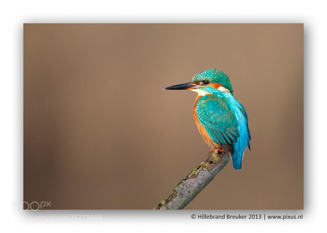 Photograph Kingfisher by Hillebrand Breuker on 500px
