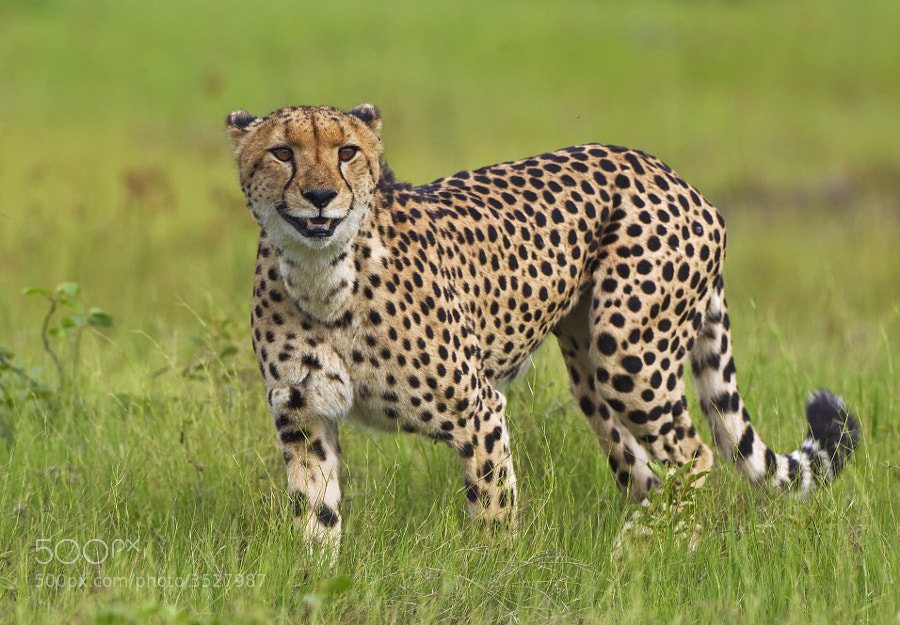 Well this Cheetah was certainly happy last year. Taken in Kwara concession, Botswana